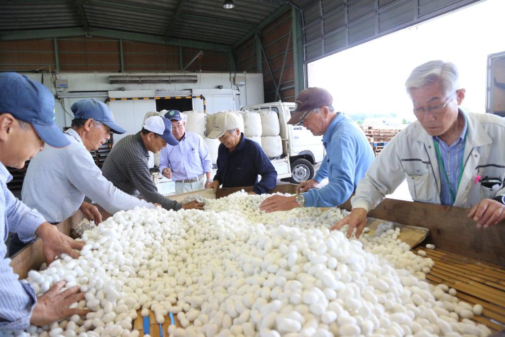 春蚕繭 品質は良好 9戸が2トン