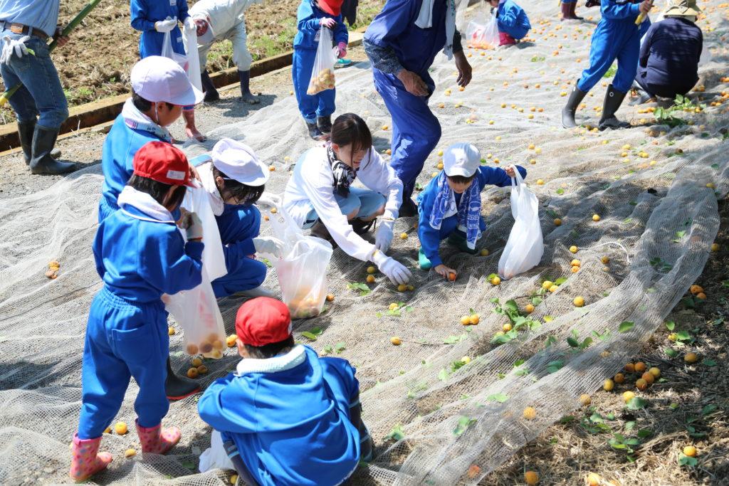 住民らが協力 アンズ収穫体験 栃木県小山市 生井地区の実行委