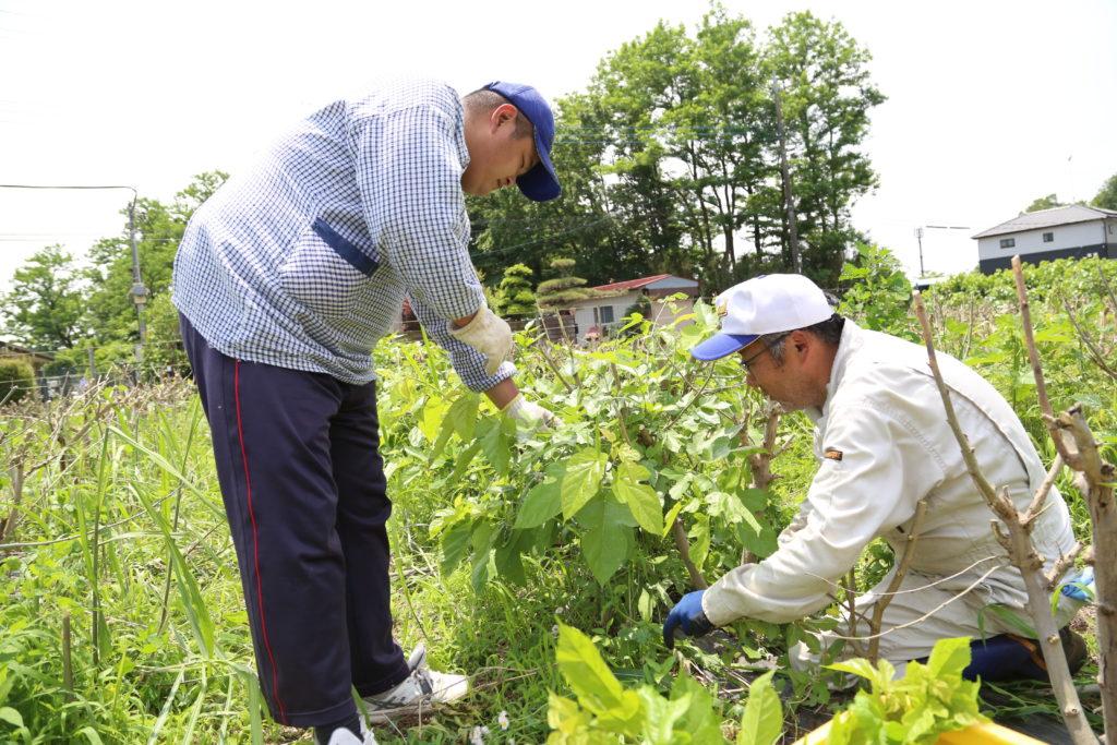 小山市の社会福祉法人パステル 桑の葉収穫し餌やり