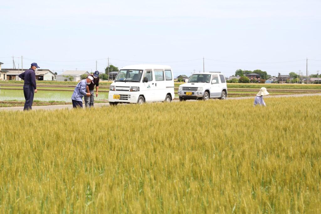 全量出荷を目標に 小麦採種圃場確認