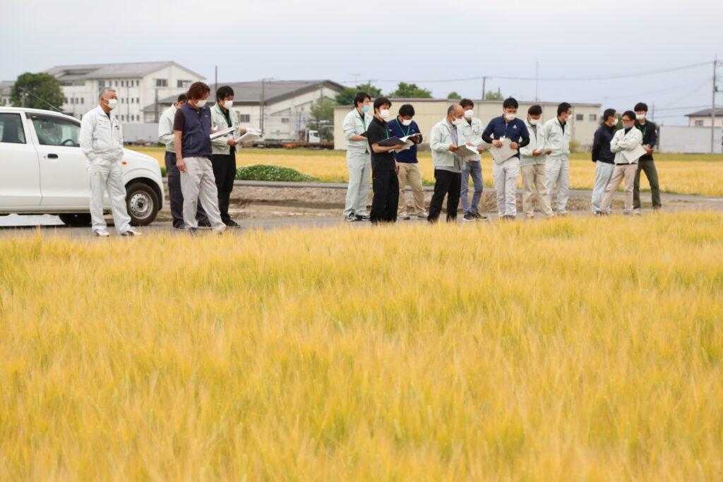 適期収穫で良質めざせ ビール大麦圃場確認