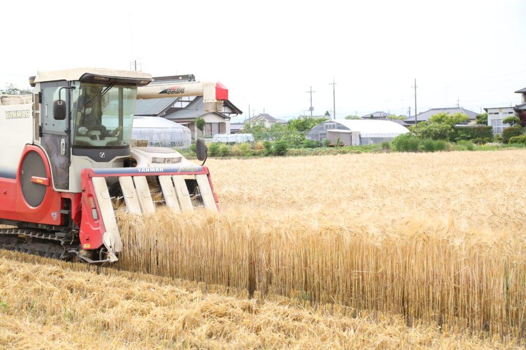 おいしいビールに 黄金色の麦一面 収穫最盛