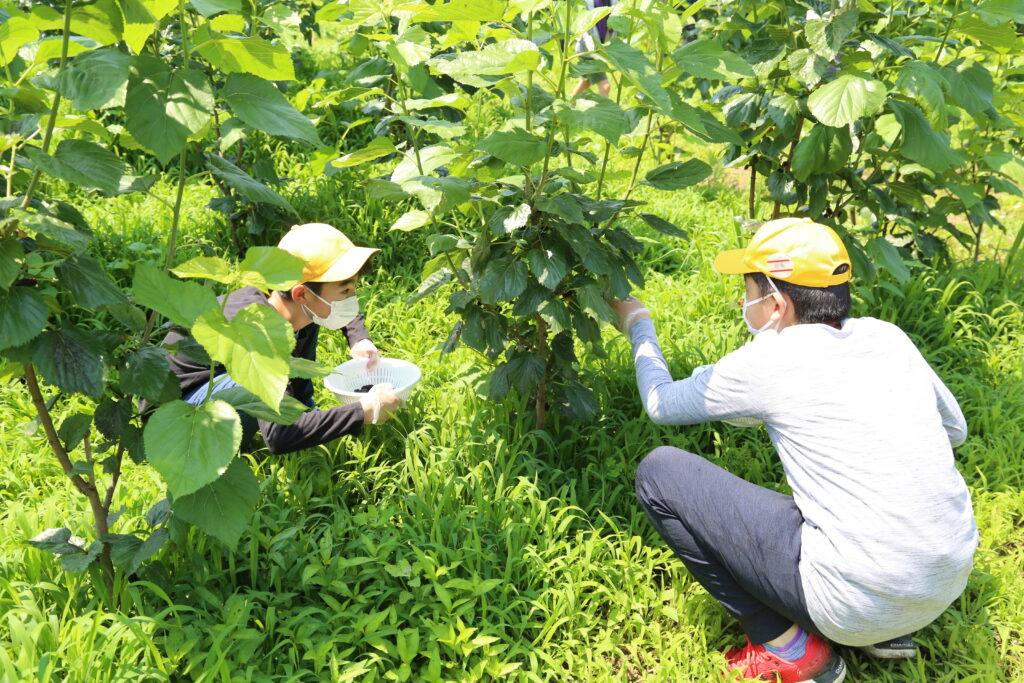 桑の実摘んで 地元産業理解 児童が収穫体験