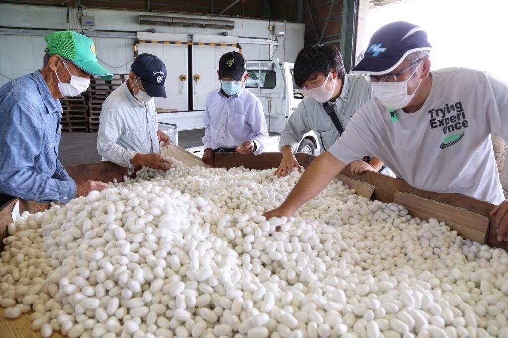 純白の繭 粒ぞろい見事